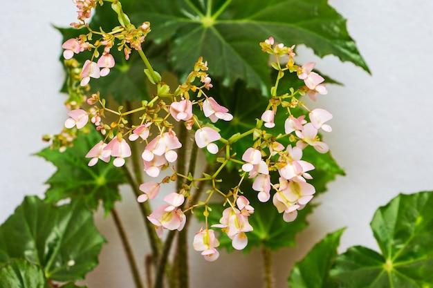 Fiori rosa di begonie e foglie verdi. piante d'appartamento in crescita