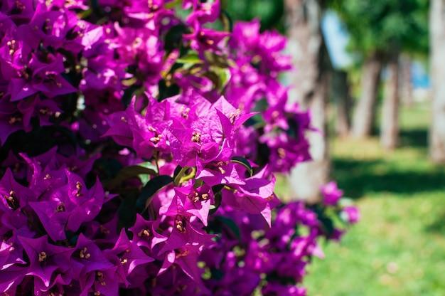 Fiori rosa in fioritura in parco il giorno di estate soleggiato