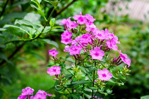 Fiori rosa su sfondo giardino sfocato