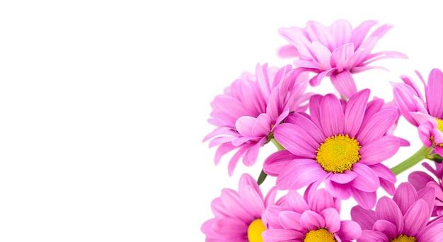 Fiori rosa bouquet crisantemo cespuglio chrysanthemum indicum grp tros morreno pink isolato su superficie bianca