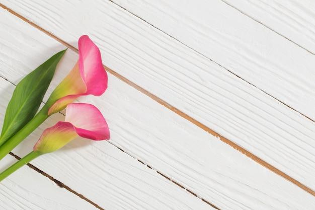 Fiori rosa del giglio di calla su superficie di legno bianca