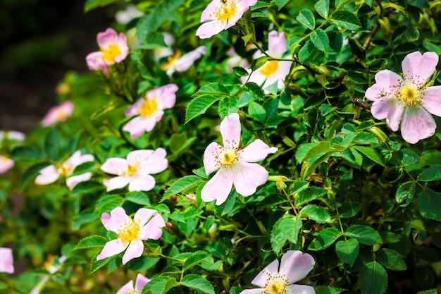 Fiori rosa della rosa canina sul fondo verde del giardino