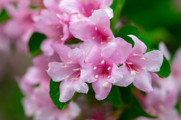 Fiori rosa in giardino. sfondo estivo.