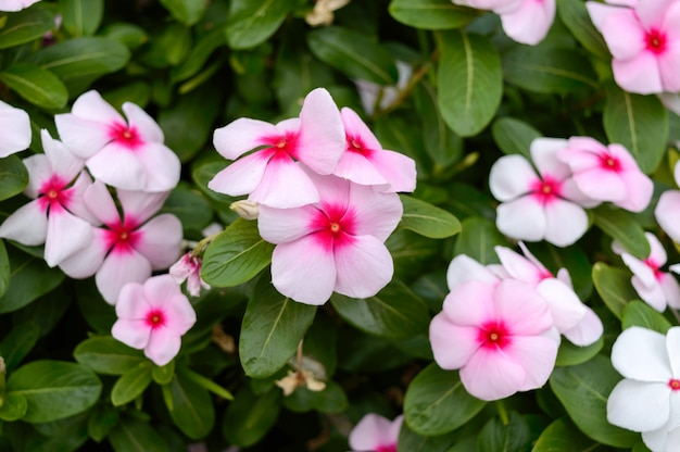 Vinca rosa dei fiori nel giardino. belle aiuole con arbusti fioriti.