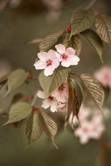 Fiori rosa di sakura con le foglie sul ramo.