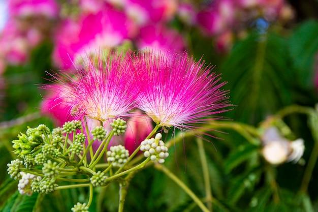 Fiori rosa dell'albero tropicale albicia da vicino