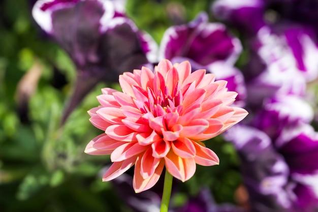 Fiori rosa Foto Premium