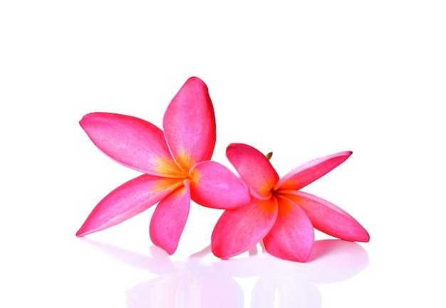 Fiore rosa del frangipane isolato