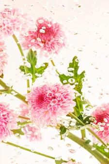 Fiori e foglie freschi di crisantemo rosa in acqua con bolle d'aria
