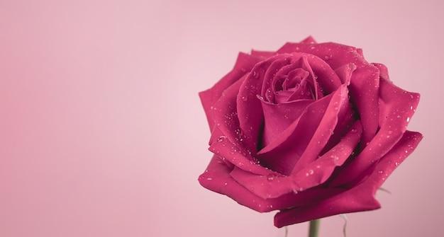 Rosa fresca rosa con gocciolina sul petalo. simbolo del fiore di amore e di san valentino