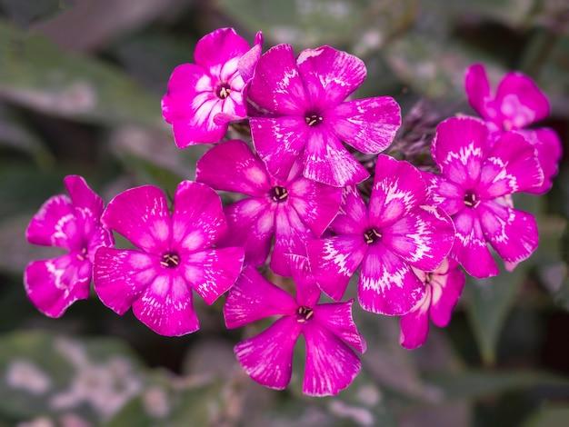 Phlox giardino rosa (phlox paniculata). fioritura ramo di phlox rosa in giardino. fuoco selettivo sfocato morbido.