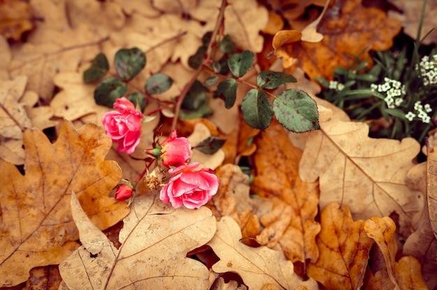 Un fiore di rosa da giardino rosa in piena fioritura su foglie di quercia arancio autunnali cadute