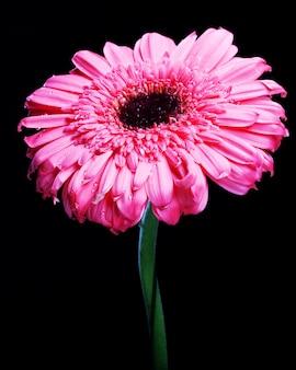 Pink gerber daisy in piedi alto