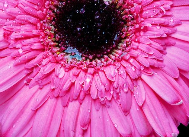 Gerber rosa con goccia d'acqua. colpo macro.