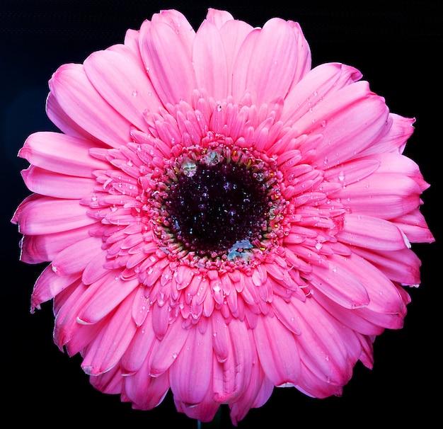 Gerber rosa con goccia d'acqua