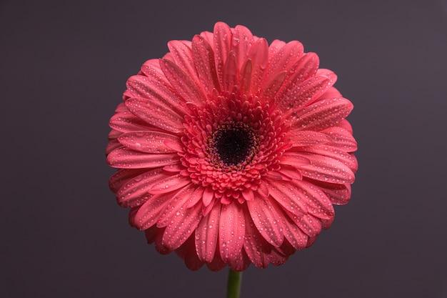 Pink gerbera bocciolo di fiore con un sacco di minuscole gocce d'acqua di close-up