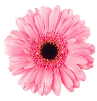 Gerbera rosa fiore isolato su bianco, muro di fiori