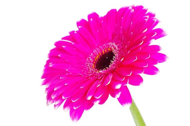 Fiore di gerbera rosa isolato su bianco
