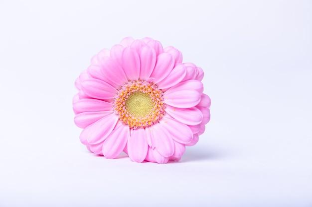 Gerbera rosa su sfondo bianco. primo piano, fuoco selettivo, isolare.