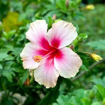 Fiore di ibisco rosa in giardino