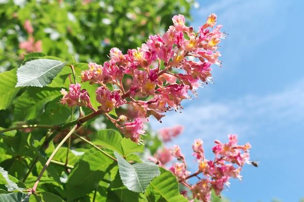 Ippocastano rosa fiorisce contro il cielo blu