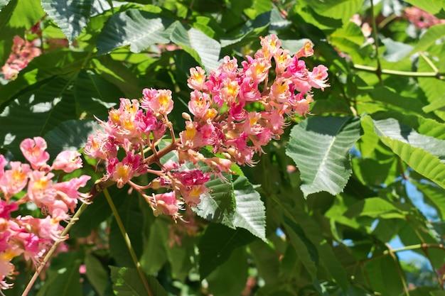 Fiori di ippocastano rosa