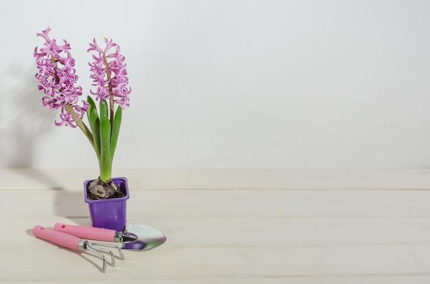 Giacinti rosa su fondo di legno bianco con attrezzi da giardino con lo spazio della copia, fiori di forzatura della molla