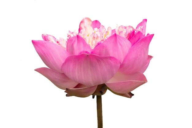 Fiore di loto rosa isolato su sfondo bianco
