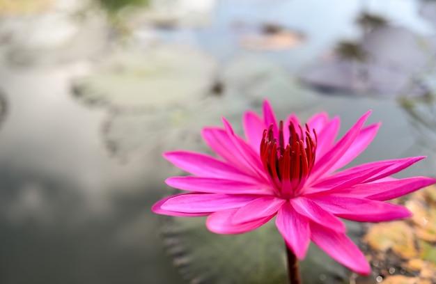 Fiori di loto rosa galleggianti