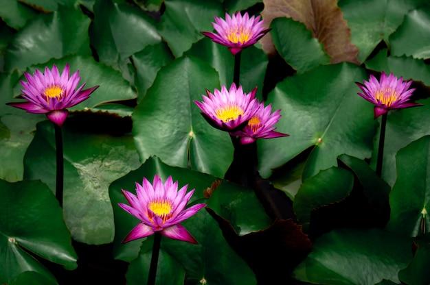 Fiori di loto rosa nello stagno di loto per l'agricoltura