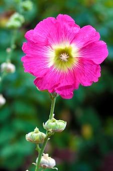Fine rosa del fiore della malva su