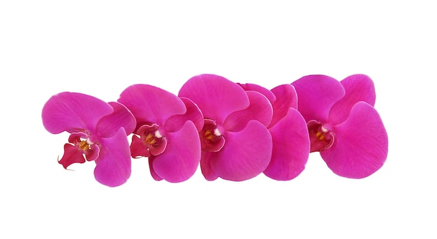 Fiori di orchidea rosa isolati su sfondo bianco con tracciato di ritaglio.