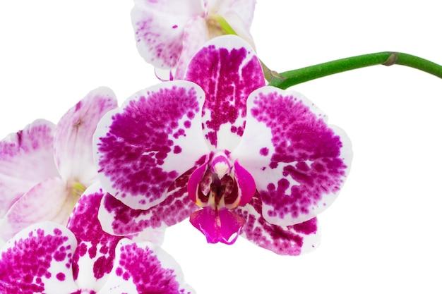 Isolare rosa dell'orchidea su bianco. con tracciato di ritaglio.