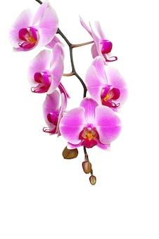 Orchidea rosa isolato su uno sfondo bianco