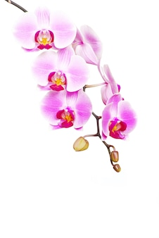 Orchidea rosa isolata su uno sfondo bianco