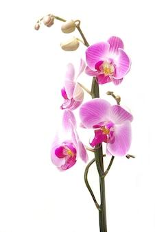 Orchidea rosa isolata