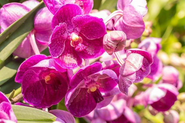 Orchidee rosa, vanda, con goccioline d'acqua, in fiore nel giardino, luce solare intensa sfocatura dello sfondo, in morbido stile sfocato.