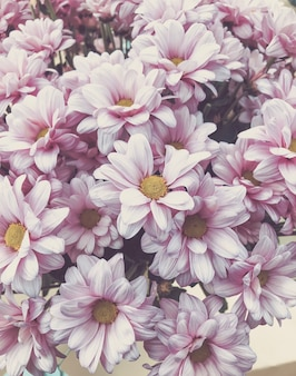 Fondo pastello rosa del fiore del crisantemo con il fuoco molle Foto Premium