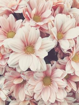 Fondo pastello rosa del fiore del crisantemo con il fuoco molle