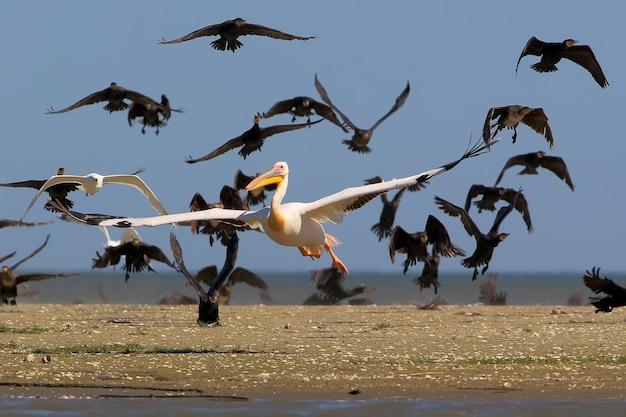 Il pellicano rosa decolla dall'acqua dal branco di cormorani comuni