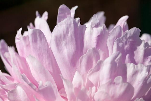 Peonie rosa in fiore d'estate, piante fiorite per decorare il territorio