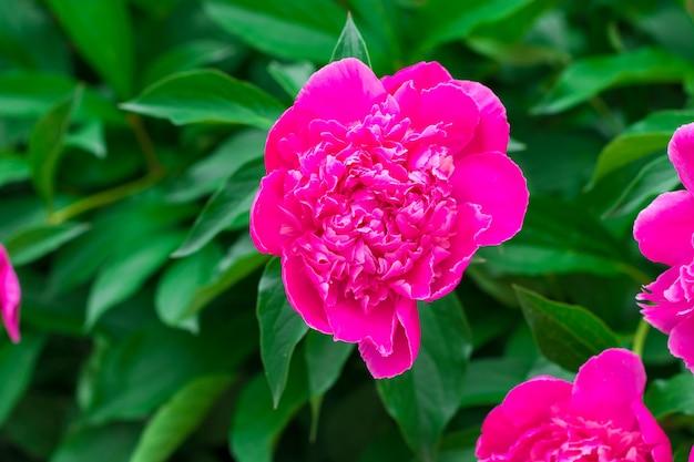 Peonie rosa in giardino. peonia rosa in fiore. primo piano del bellissimo fiore di peonie rosa.