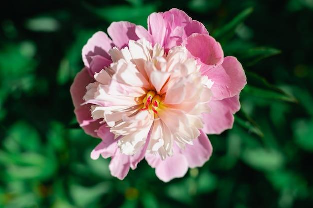 Sfondo di peonia rosa grande fiore che sboccia con petali bianchi e rosso chiaro vista dall'alto estiva floreale