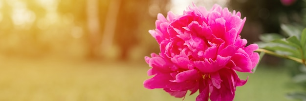 Testa di fiore di peonia rosa in piena fioritura su uno sfondo di erba verde sfocata e alberi nel giardino floreale in una soleggiata giornata estiva. bandiera. bagliore