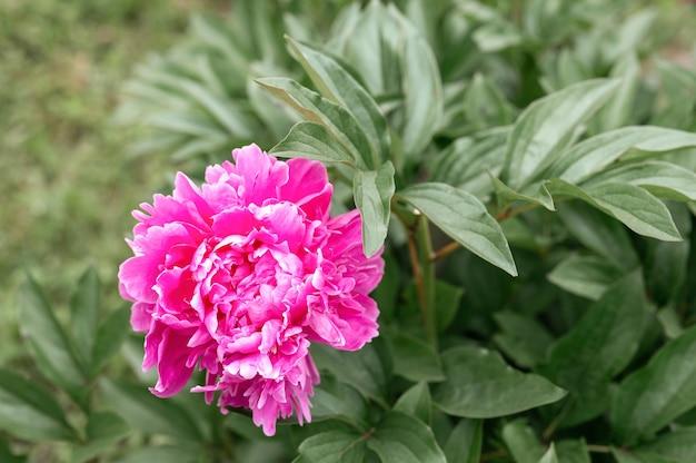 Testa di fiore di peonia rosa in piena fioritura su uno sfondo di foglie verdi ed erba nel giardino floreale in una soleggiata giornata estiva
