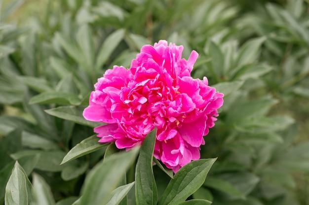 Testa di fiore di peonia rosa in piena fioritura su uno sfondo di foglie verdi ed erba nel giardino floreale