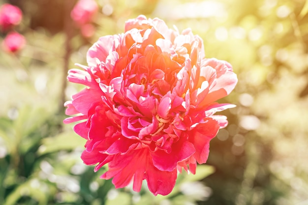 Testa di fiore di peonia rosa in piena fioritura su foglie verdi ed erba sfocate
