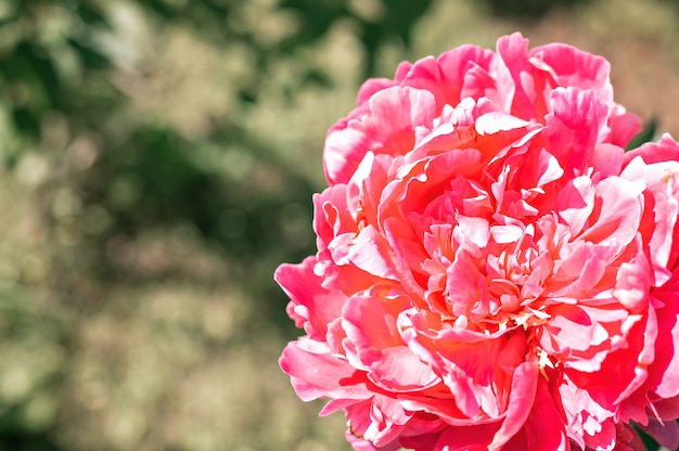 Testa di fiore di peonia rosa in piena fioritura su foglie verdi ed erba sfocate Foto Premium