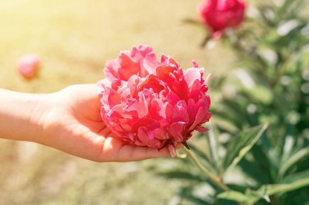 Testa di fiore di peonia rosa in piena fioritura in una mano di bambini su uno sfondo di foglie verdi sfocate