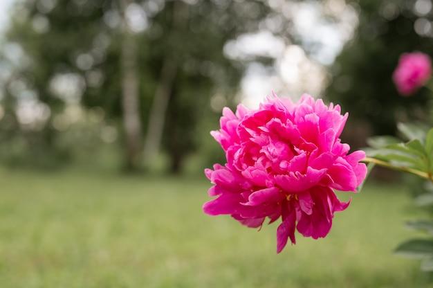 Testa di fiore di peonia rosa in piena fioritura su una superficie di erba verde sfocata e alberi nel giardino